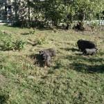 les cochons du vietnam